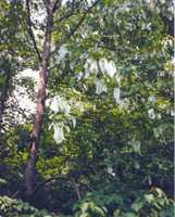 The famous hankichief tree!