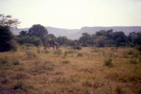 Lots of Giraffe