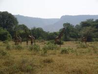 Lotsa giraffe