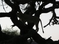A tree lion, in silhouette