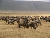 Yet more wildebeest