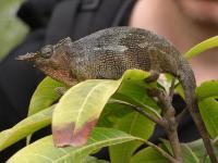 Another chameleon