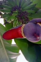 A banana flower