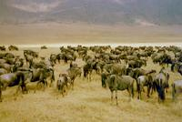 A herd of wildebeest